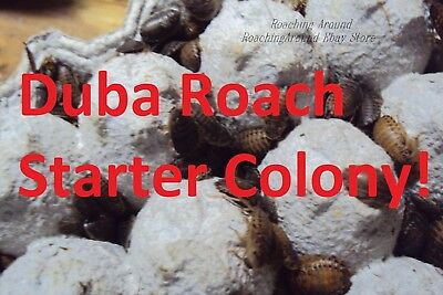 55+ Dubia Roaches Starter Colony.Adults Nymphs.Free Beetles & Isopods. Dubia Alt