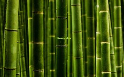 50 Graines  (10/2018) Phyllostachys Pubescens Giant Moso Bamboo bulk Seeds