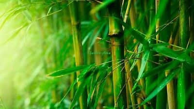 110 Graines  (10/2018) Phyllostachys Pubescens Giant Moso Bamboo bulk Seeds