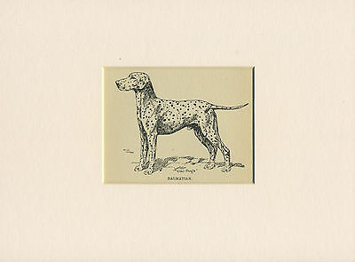 DALMATIAN LOVELY ANTIQUE DOG PRINT FROM 1912 by ARTHUR WARDLE READY MOUNTED