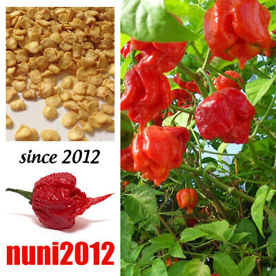200 Super Hot Carolina Reaper Chilli Pepper Seeds, 100% Genuine and Germination