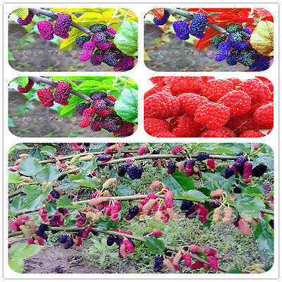 100pcs3+Colors Super Big Mulberry Fruit Seeds  Pots Strawberry Bonsai Blackberry