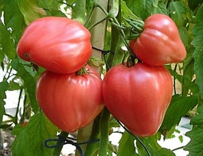 "Rare Organic Vegetable Tomato seeds ""Bull Heart Pink"" Large. 80 Seeds."