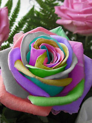 35 rose Samen Rainbow Cream...