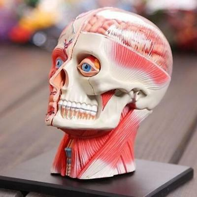 Human Head Skull Brain Anatomy Anatomical Model Science Medical Lab School POP