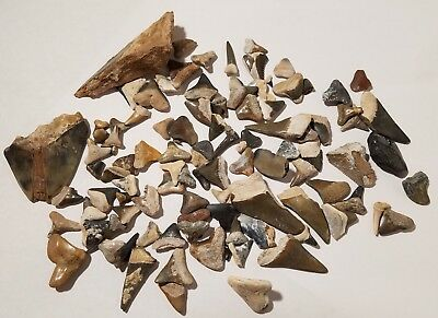 Lot of Over 100 Fossil Shark Teeth Tooth Mostly From Bone Valley Florida 4