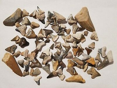 Lot of Over 100 Fossil Shark Teeth Tooth Mostly From Bone Valley Florida 13
