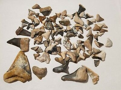 Lot of Over 100 Fossil Shark Teeth Tooth Mostly From Bone Valley Florida 15