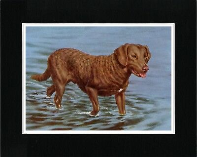 Chesapeake Bay Retriever Great Vintage Style Dog Art Print Ready Matted