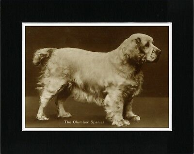Clumber Spaniel Great Vintage Style Dog Photo Print Ready Matted