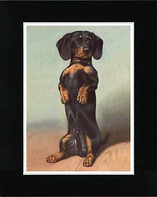 Dachshund Begging Lovely Vintage Style Art Print Matted Ready To Frame