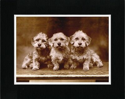 Dandie Dinmont Terrier Dogs Vintage Style Sepia Dog Art Print Ready Matted