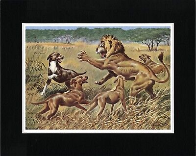 Rhodesian Ridgeback Dogs Fight Lion Vintage Style Dog Art Print Ready Matted