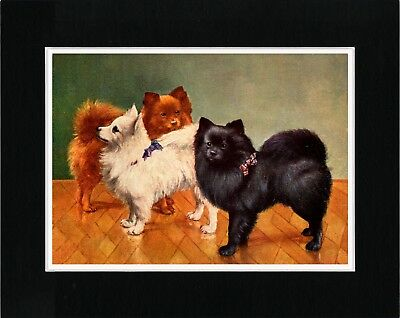 POMERANIAN THREE DOGS LOVELY DOG PRINT MOUNTED READY TO FRAME