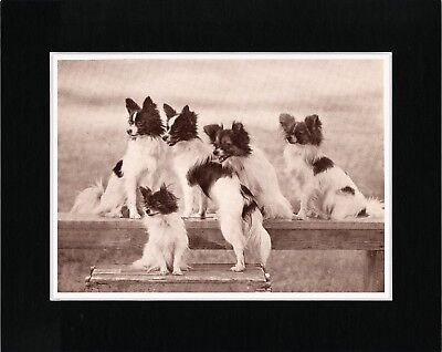 Papillon Group Lovely Vintage Style Dog Print Matted Ready To Frame