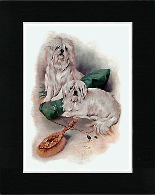 Maltese Dogs Lovely Image Dog Art Print Matted Ready To Frame