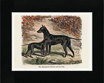 Manchester And English Terrier Vintage Style Dog Art Print Matted Ready To Frame