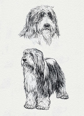 Bearded Collie Lovely Dog Art Sketch Greetings Note Card