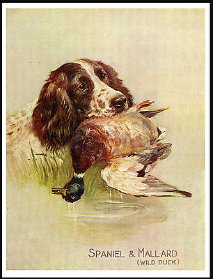 English Springer Spaniel Head Study Holding Bird Vintage Style Dog Print Poster