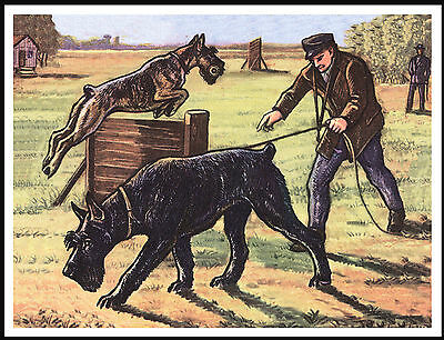 Giant Schnauzer Dogs In Training Lovely Vintage Style Dog Art Print Poster