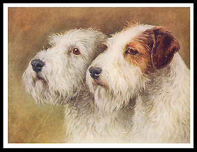 Sealyham Terrier Two Dogs Head Study Lovely Vintage Style Dog Print Poster