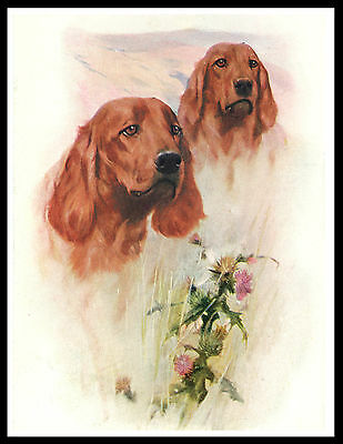 Irish Setter Head Study Two Dogs Lovely Vintage Style Dog Print Poster