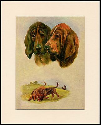 Bloodhound Great Head Study Dog Art Print Mounted Ready To Frame