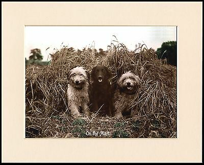 Bearded Collie Flat Coated Retriever Sepia Photo Dog Print Ready Mounted
