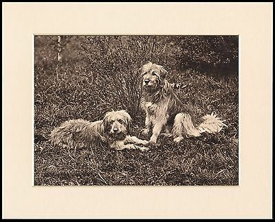 Bearded Collie Two Old Style Dogs Great Dog Print Mounted Ready To Frame