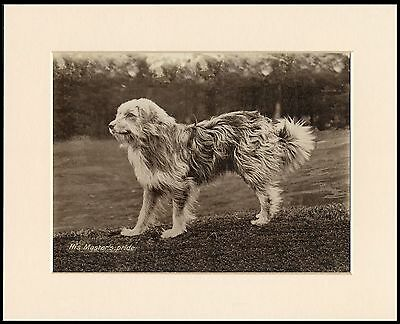 Bearded Collie Great Sepia Photo Dog Print Mounted Ready To Frame