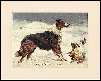 Border Collie After The Storm Lovely Dog Print Mounted Ready To Frame