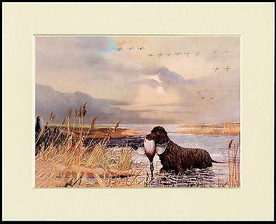 Irish Water Spaniel Retrieves Duck From Water Dog Print Mounted Ready To Frame