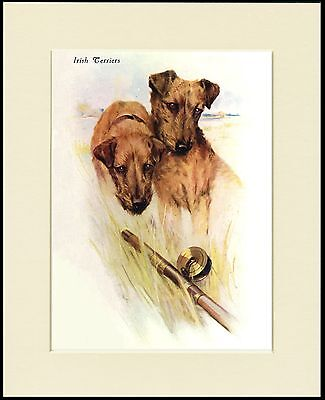 Irish Terrier Two Dogs Head Study Lovely Dog Print Mounted Ready To Frame