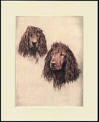 Irish Water Spaniel Head Study Two Dogs Lovely Dog Print Mounted Ready To Frame