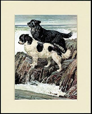 Newfoundland Dogs By The Sea Lovely Dog Print Mounted Ready To Frame