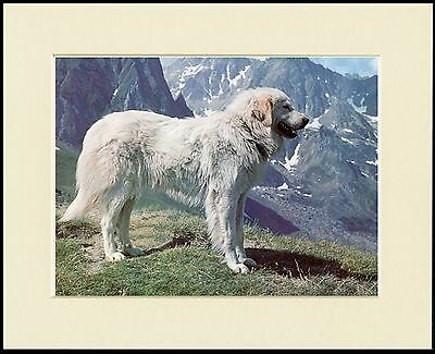 Pyrenean Mountain Dog In Alpine Scene Lovely Print Mounted Ready To Frame