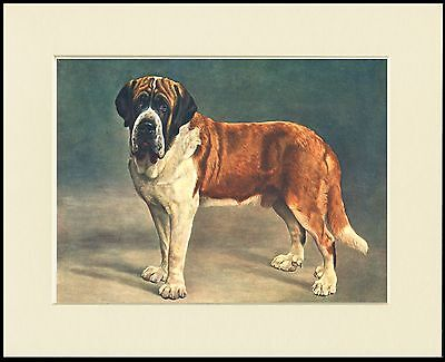 Saint Bernard Standing Dog Lovely Print Mounted Ready To Frame