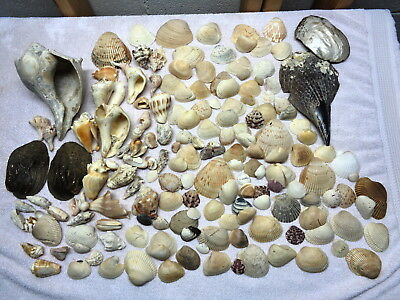 Huge Seashell Lot~Sea Shell Collection~Wide Variety~Large to Small~7+ Lbs.