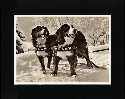 Bernese Mountain Dogs In The Snow Lovely Dog Print Matted Ready To Frame