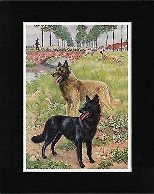 Belgian Shepherd Dogs Lovely Old Style Dog Photo Print Ready Matted