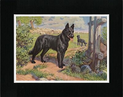 Belgian Shepherd And Sheep Lovely Old Style Dog Art Print Matted