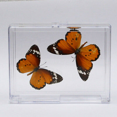 2pcs Real butterfly Tip Danaus chrysippus ilia Real Specimen Education Material