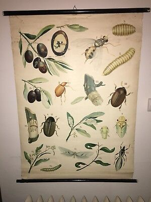 Antique Italian University Insect Metamorphosis Poster Canvas Diagram