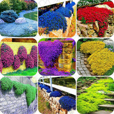 14 Types 100X/bag Creeping Thyme Seeds or Multi-color ROCK CRESS Seeds- Perennil