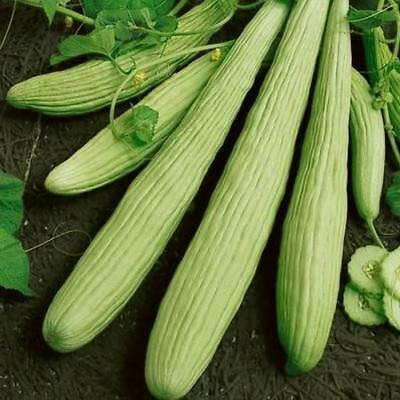 Cucumber Armenian Yard Long Seeds (Cucumis melo var. flexuosus) 30+Seeds