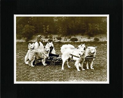 Girl On Cart Pulled By Samoyed Dogs Vintage Style Dog Photo Print Ready Matted