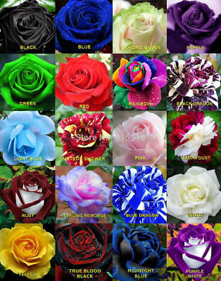 100 SEMI di ROSE, COLORI MISTI MIX - 100 ROSES SEEDS, MIXED COLOURS