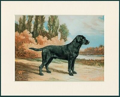 Labrador Retriever Standing Dog Great Dog Print Mounted Ready To Frame