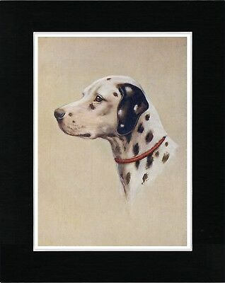 Dalmatian Head Study Lovely Vintage Style Dog Art Print Ready Matted