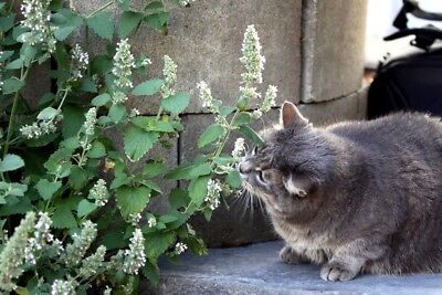 2000 Graines herbe aux chats, Nepeta cataria , Catnip seeds